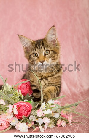Valentine Mother Day Maine Coon kitten playing with pink bouquet of flowers - stock photo