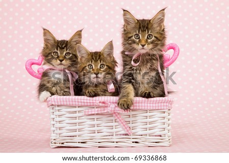 Valentine Mother Day Maine Coon kittens sitting inside white basket