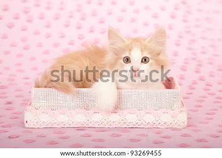 Valentine Norwegian Forest Cat kitten with pink gift box on pink heart background