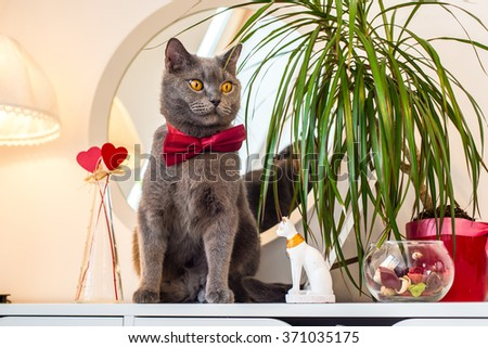 Valentine's Day British cat in a burgundy bow tie sitting at the mirror