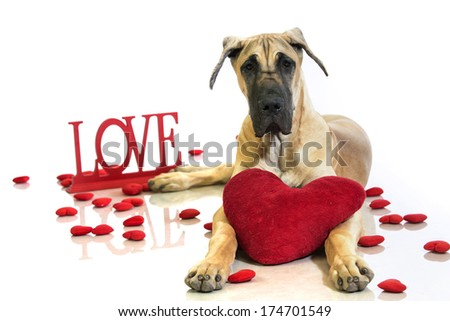Valentine's Day Great Dane ten-month-old puppy dog lies down with his head up and has a large heart pillow between his feet - stock photo