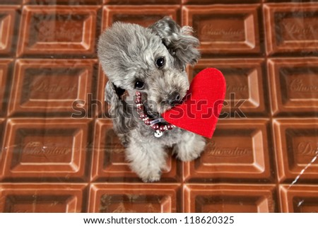 valentine's dog on a chocolate bar background. - stock photo