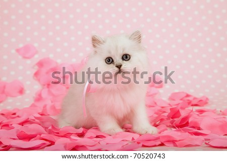Valentine Silver Chinchilla kitten with pink rose petals