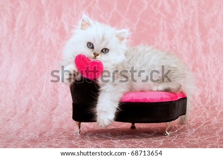 Valentine Silver Chinchilla Persian kitten on pink black chair - stock photo