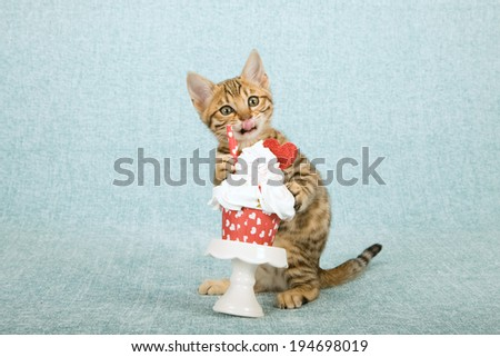 Valentine theme Bengal kitten with valentine cupcake on white cupcake stand on light blue background  - stock photo
