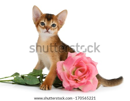 Valentine theme kitten with pink rose isolated on white background - stock photo