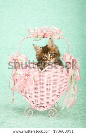Valentine theme Maine Coon kitten sitting inside pink heart shaped basket decorated with pink bows and ribbons on mint green background  - stock photo
