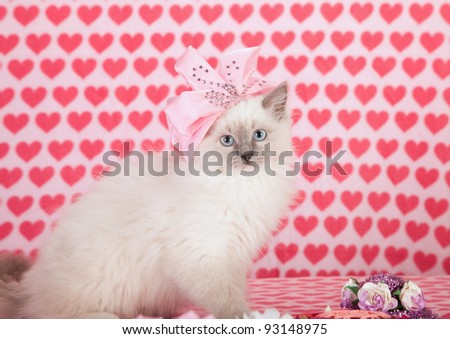 Valentine theme Ragdoll kitten with pink hat and heart background