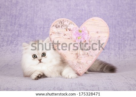 Valentine theme silver Chinchilla kitten with large ornamental pink wooden heart against lilac light purple background - stock photo