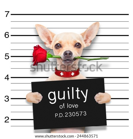 valentines chihuahua dog with rose in mouth as a mugshot guilty for love - stock photo