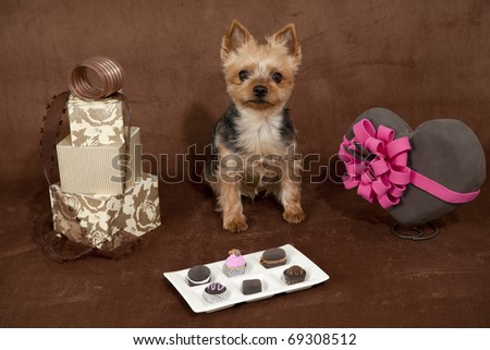 valentines day dog,a yorkshire terrier on a chocolate colored background surrounded be valentines items - stock photo