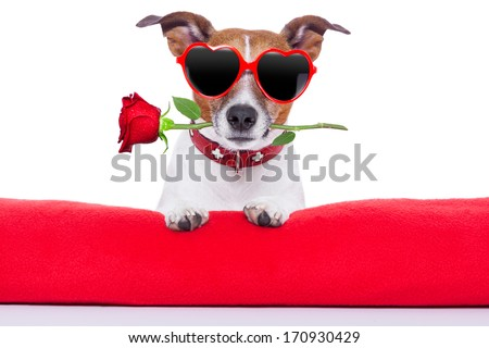 valentines day dog  holding a rose in his mouth - stock photo