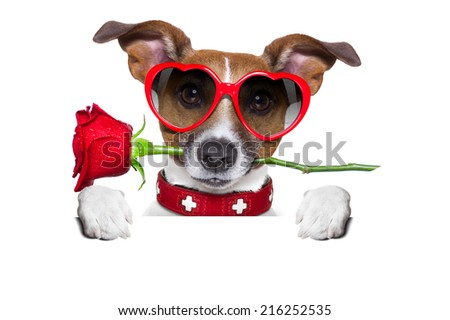 valentines dog with a red rose in mouth , isolated on white background, behind a white and blank banner or placard