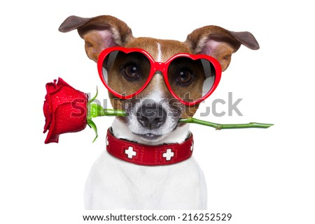 valentines dog with a red rose in mouth , isolated on white background, wearing heart shaped red sunglasses