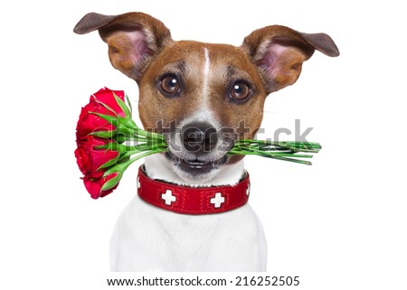 valentines dog with red roses in mouth , isolated on white background
