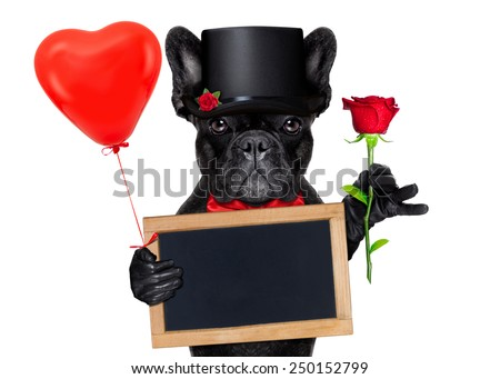 valentines french bulldog dog holding a red rose with one hand , a blackboard and a red balloon with the other, isolated on white background - stock photo