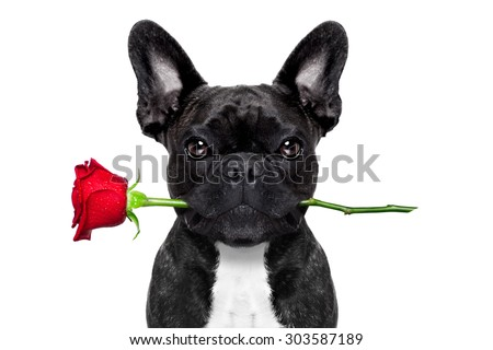 valentines  french bulldog dog in love holding a rose with mouth , isolated on white background - stock photo