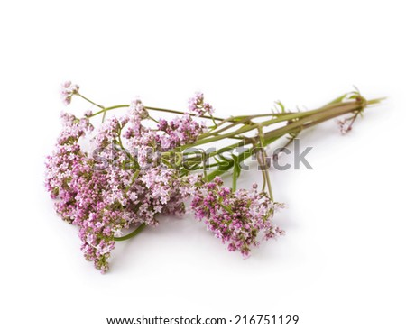 Valerian herb flower sprigs on a white background  - stock photo