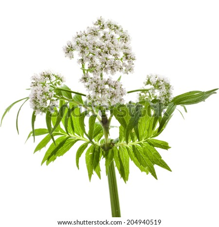 Valerian herb flowering isolated on white background - stock photo
