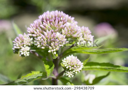 Valerian in bloom in Leidschendam, Netherlands. - stock photo