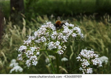 Valerian (Valeriana officinalis); flower head with bumblebee