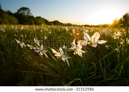 valley narcissus - stock photo