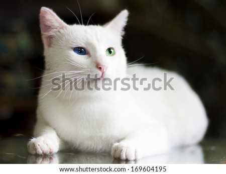 Van cat famous with his colorful eyes - stock photo