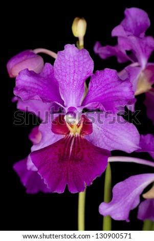 Vanda Miss Joaquim, Singapore's National Flower; Non sharpened file - stock photo