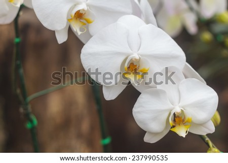 Vandas are fascinating orchids that may be grown with relative ease. Vandas are monopodial. - stock photo