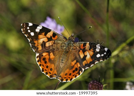 Vanessa cardui, Painted Lady, Butterfly