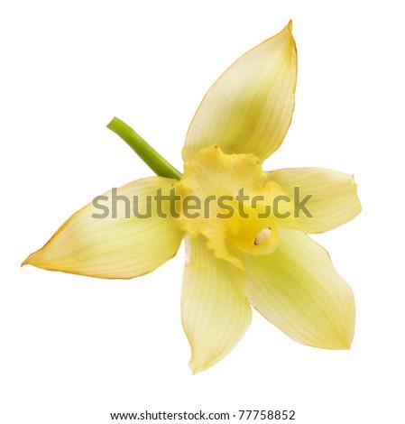 Vanilla Flower - stock photo