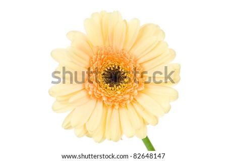 Vanilla gerber flowers isolated on white background - stock photo