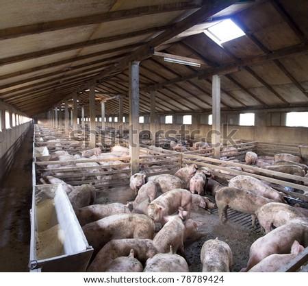Vanish view of Inside of Big breeding pig farm - stock photo