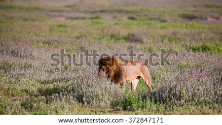 Vanishing Africa: Vanishing Africa: a lion in the early morning lights in the Ngorongoro Crater in Tanzania - stock photo