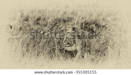 Vanishing Africa: vintage style image of African Lionesses in the Maasai Mara National Park, Kenya - stock photo