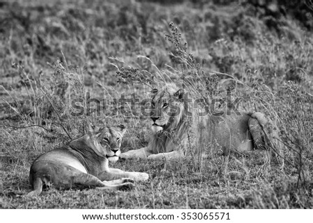 Vanishing Africa: vintage style image of an African Lion and Lioness in the Maasai Mara National Park, Kenya - stock photo