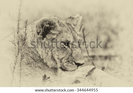 Vanishing Africa: vintage style image of an African Lion cub in the Maasai Mara National Park, Kenya