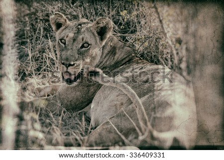 Vanishing Africa: Vintage style image of an African lioness in the Hlane National Park, Swaziland - stock photo