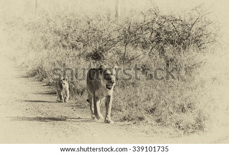 Vanishing Africa: Vintage style image of an African lioness with her cub in the Hlane National Park, Swaziland - stock photo