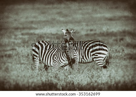 Vanishing Africa: vintage style image of Zebras in the Ngorongoro Crater, Tanzania