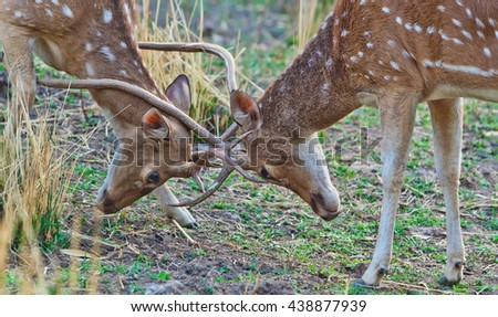 Vanishing Indian wildlife: two Chital or cheetal deers (Axis axis), also known as spotted deer or axis deer fighting in the Bandhavgarh National Park in India. - stock photo