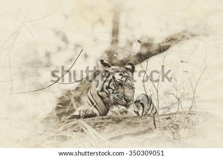 Vanishing Indian wildlife: Vintage style image of a Large male Bengal tiger in Bandhavgarh National Park, India - stock photo