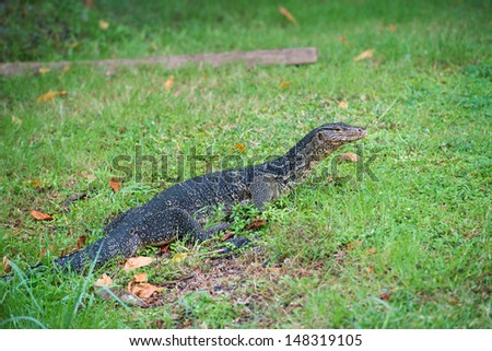 Varanus walking on the grass field - stock photo