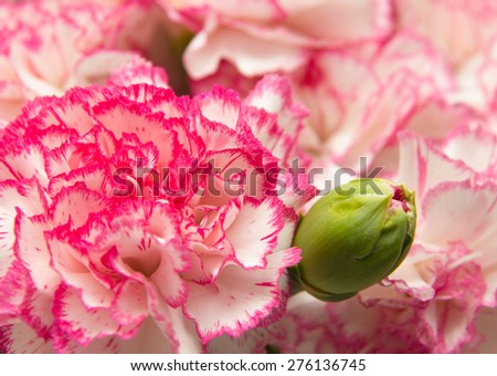 vareigated carnation flowers natural floral background - stock photo