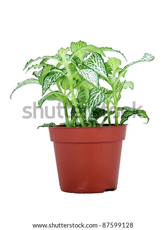 Variegated green and white potted plant isolated over white background - stock photo