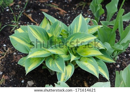 Variegated Hosta Plant with yellow center