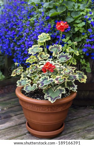 Stock images similar to id 43904542 a larger planter filled with - Care geraniums flourishing balcony porch ...