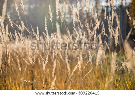 Variegated structures of flowering blades of grass during sunset. - stock photo