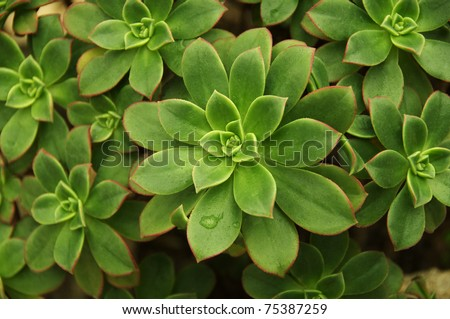 Variegated Succulent background - stock photo