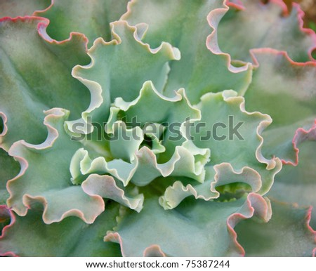Variegated Succulent green cabbage - stock photo